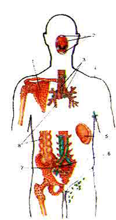 Расположение центральных и периферических органов иммунной системы в теле человека