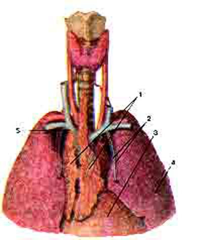 Тимус (Animus) Положение тимуса в фудной полости