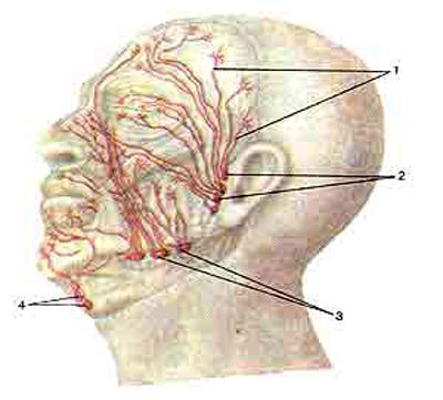 Лимфатические сосуды и узлы головы