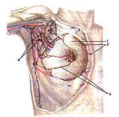 Лимфатические сосуды и узлы молочной железы