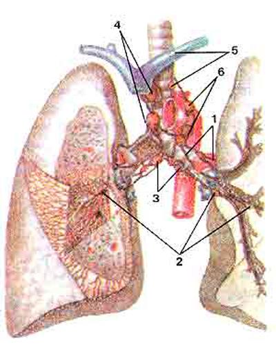 Лимфатические сосуды и узлы легких