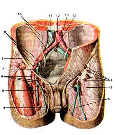 Подвздошные и паховые лимфатические узлы