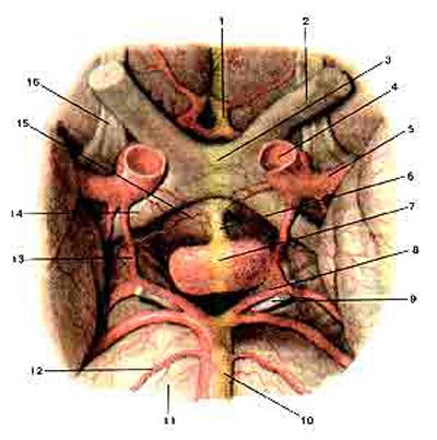 Гипофиз (hipophysis) и его взаимоотношения с кровеносными сосудами головного мозга и с черепными нервами