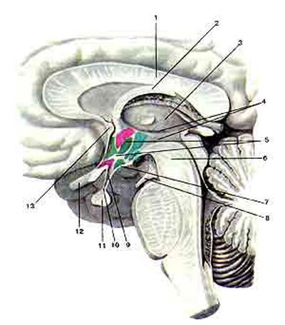 Гипофиз (hipophysis). Положение гипофиза в области основания головного мозга
