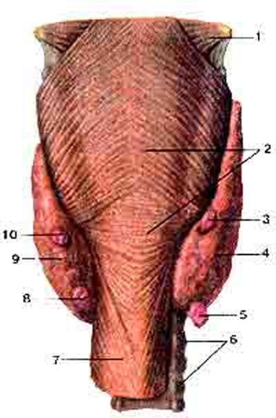 Паращитовидные (околощитовидные) железы (giandulae parathyroidei)