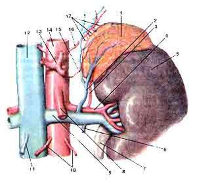 Надпочечная железа (надпочечник, левый) (glandula suprarenalis)