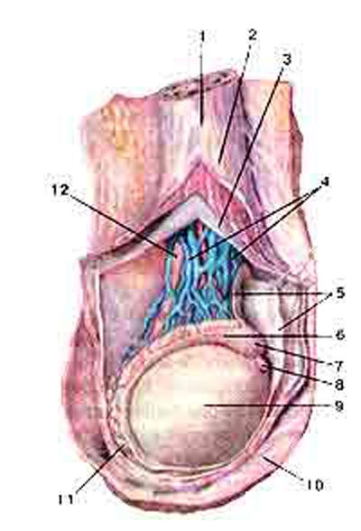 Яичко (testis). Мужская половая железа