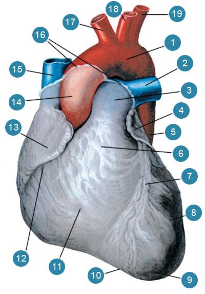 Сердце (cor)
