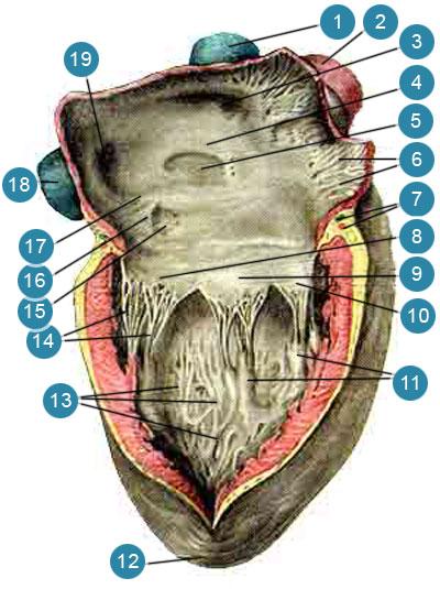 Внутренняя поверхность сердца