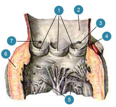 Полулунные заслонки клапана аорты