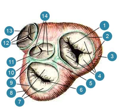 Фиброзные кольца, предсердие-желудочковые клапаны, клапаны аорты и легочного ствола