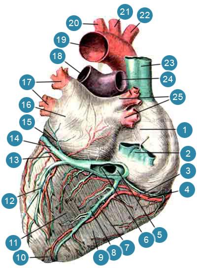 Артерии и вены сердца (аа. et vv. cordis)