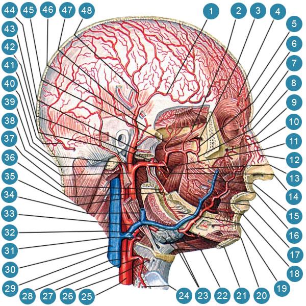 Глубокие артерии головы
