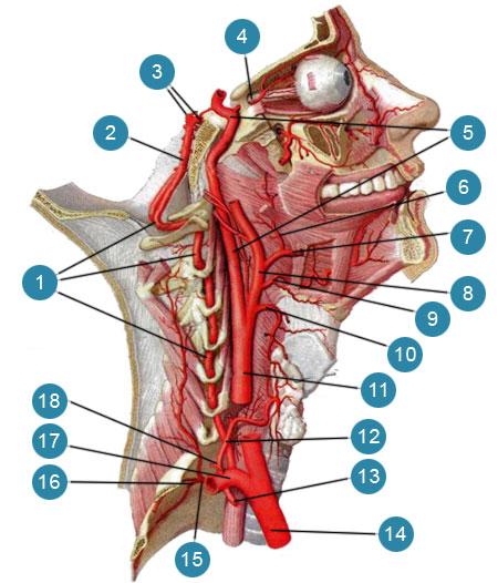 Глубокие артерии шеи и головы