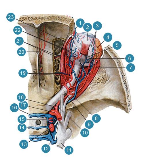 Артерии и вены глазницы, правой