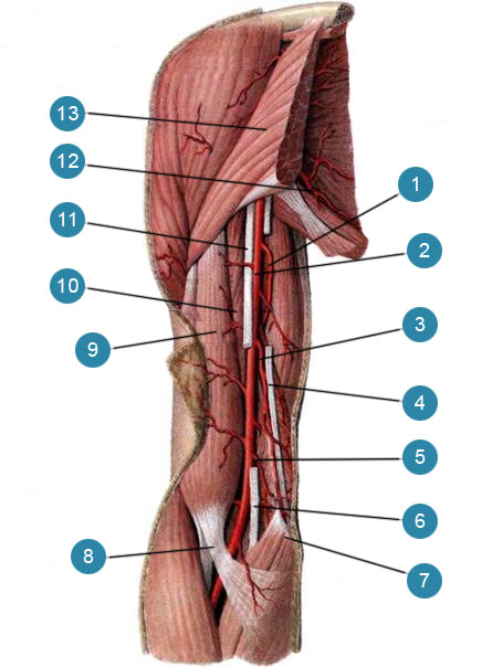 Артерии плеча, правого