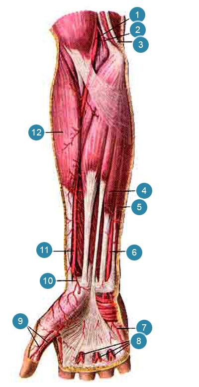 Поверхностные артерии предплечья и кисти, правой
