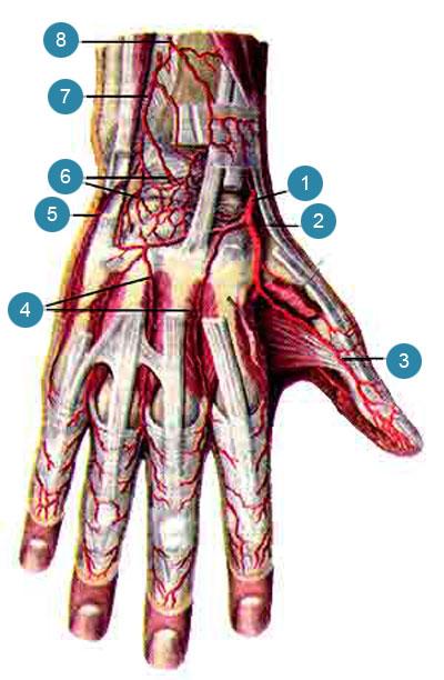 Артерии кисти, правой
