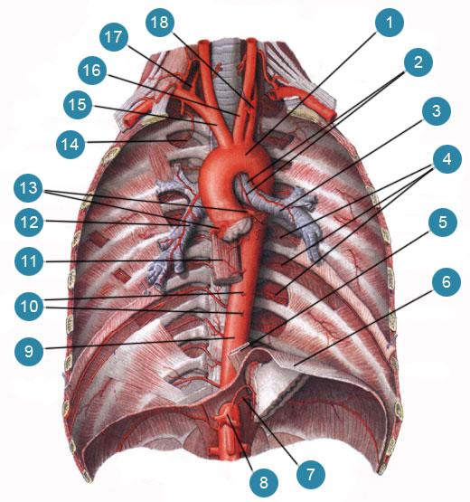 Грудная часть аорты (aorta thoracica) и ее ветви