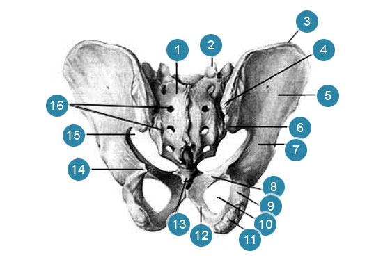 Скелет мужского таза  Вид сзади