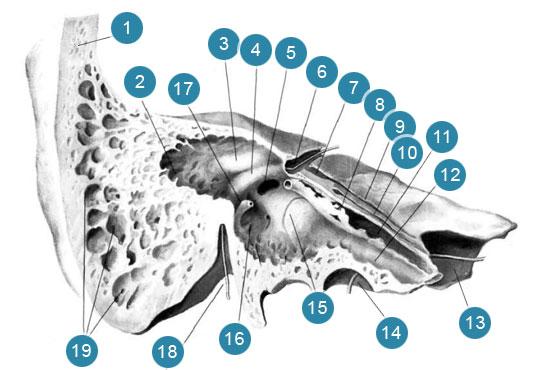 Височная кость (os temporale)  Распил через барабанную полость вдоль длинной оси пирамиды (правая кость)