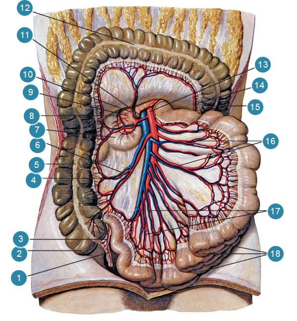 Верхняя брыжеечная артерия (arteria mesenlerica superior)и ее ветви
