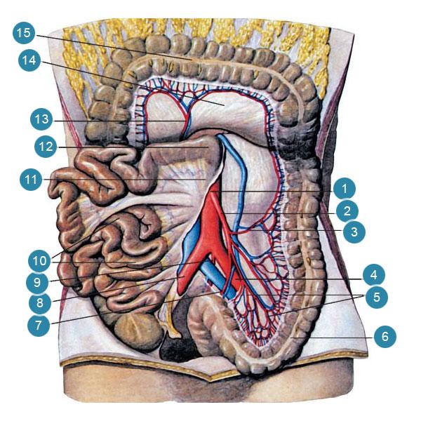 Нижняя брыжеечная артерия (arteria mesenterica inferior) и ее ветви