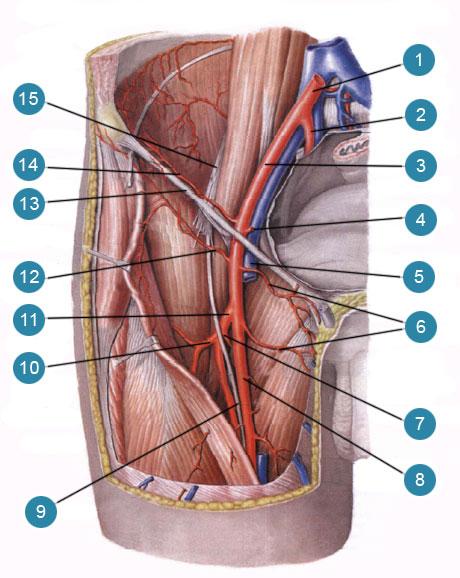 Наружная подвздошная артерия (arteria iliaca external, бедренная артерия (arteria temoralis) и их ветви