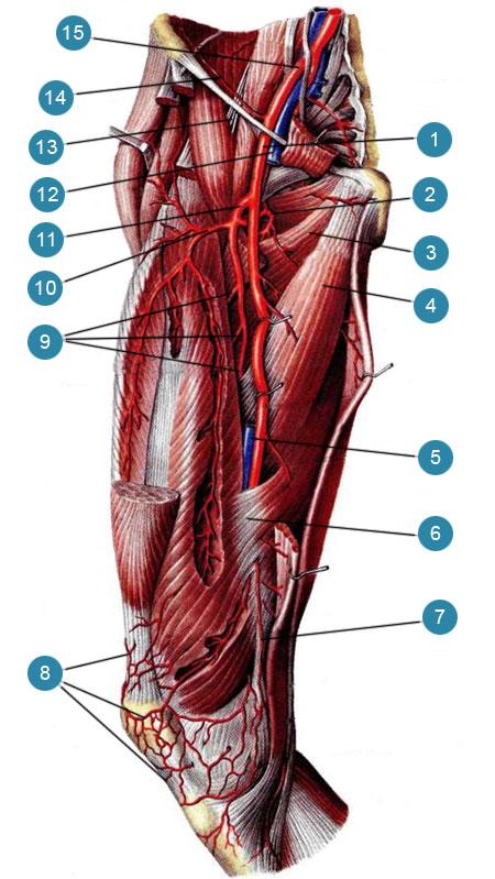 Бедренная артерия (arteria femoralis) и ее ветви