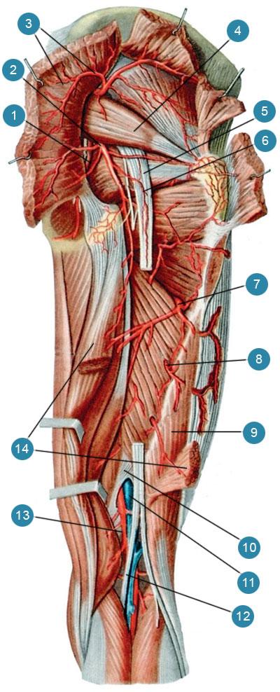 Артерии ягодичной области и задней стороны бедра, правого