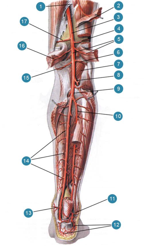 Подколенная артерия (artena poplitea) и задняя большеберцовая артерия (апепа tibialis posterior) и их ветви