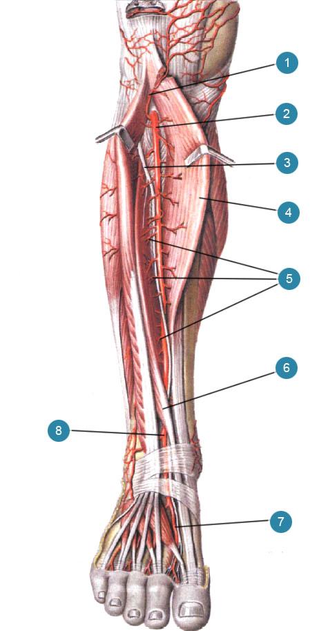 Передняя большеберцовая артерия (arteria tibialis anterior) и ее ветви