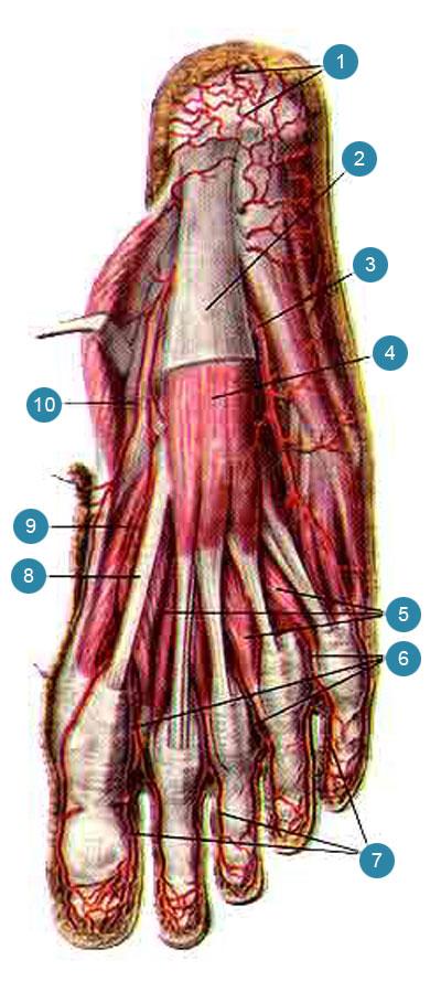 Поверхностные артерии подошвенной стороны стопы, правой