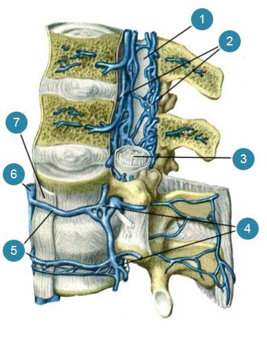Наружные и внутренние позвоночные сплетения (plexus venosus venebraiis extemus et plexus venosus venebraiis interims)