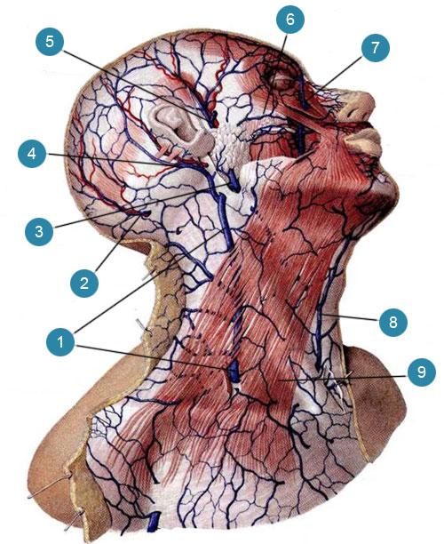 Поверхностные вены головы и шеи