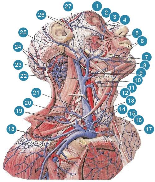 Глубокие вены шеи