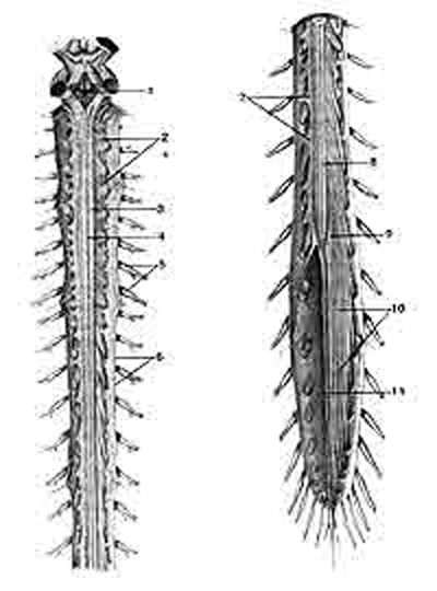 Спинной мозг (medulla spinalis) с корешками спинномозговых нервов