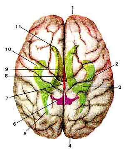 ������� ���� (cerebrum)