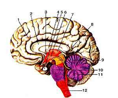 Головной мозг (cerebrum)