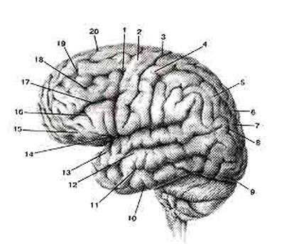 Верхне-латеральная поверхность полушария большого мозга