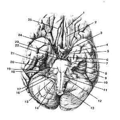 Нижняя поверхность (основание) головного мозга и места выхода корешков черепных нервов