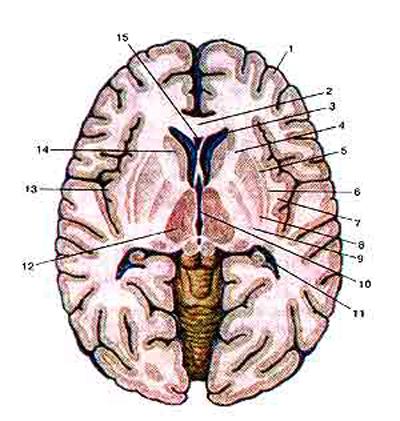 Базальные (подкорковые) узлы (nuclei basales) и внутренняя капсула (capsula interna) на горизонтальном разрезе головного мозга
