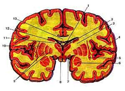Базальные (подкорковые) умы (nuclei basales) на фронтальном разрезе головного мозга, разрез сделан на уровне сосцевидных тел