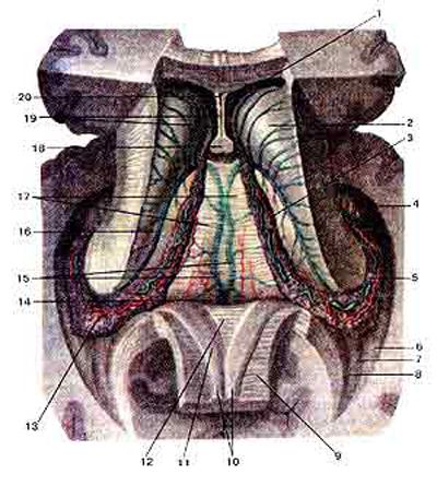 Боковые желудочки (ventriculi laterales) и сосудистая основа третьего желудочка (tela chorioidea ventriculi tertii)