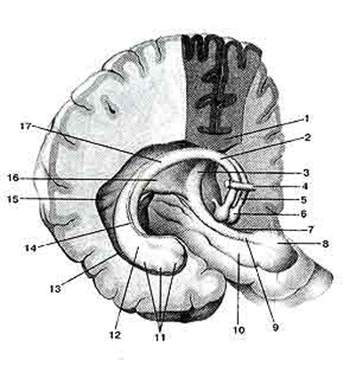 Свод (fornix) и гиппокамп (hippocampus)