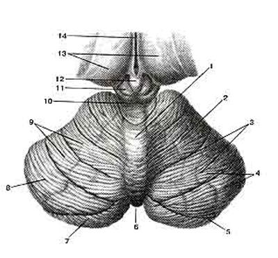�������� (cerebellum)