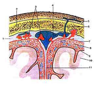 Оболочки головного мозга на поперечном (фронтальном) разрезе