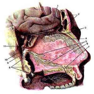 Обонятельные нервы (nervi olfactorii) в полости носа