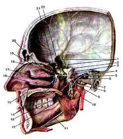 Тройничный нерв (nervus trigeminus) и его ветви