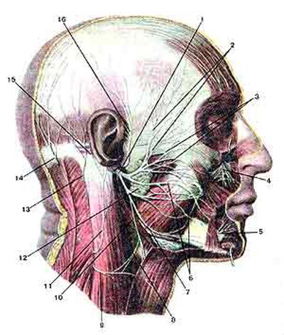 Лицевой нерв (nervus facialis)